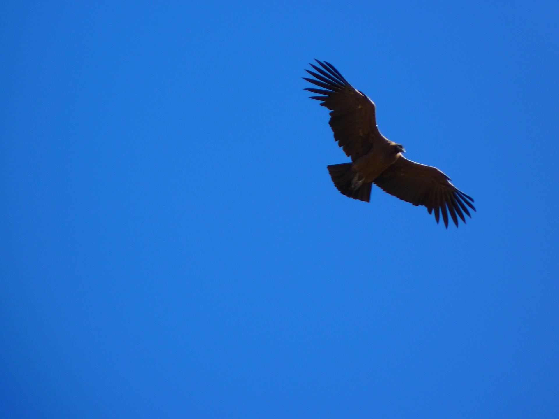 Majestueux vol du condor à la Croix du Condor