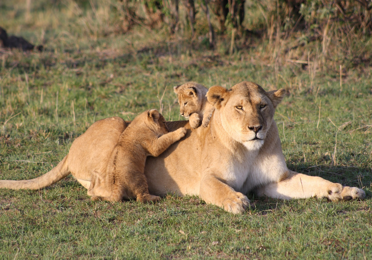 Safari dans le Masaï Mara
