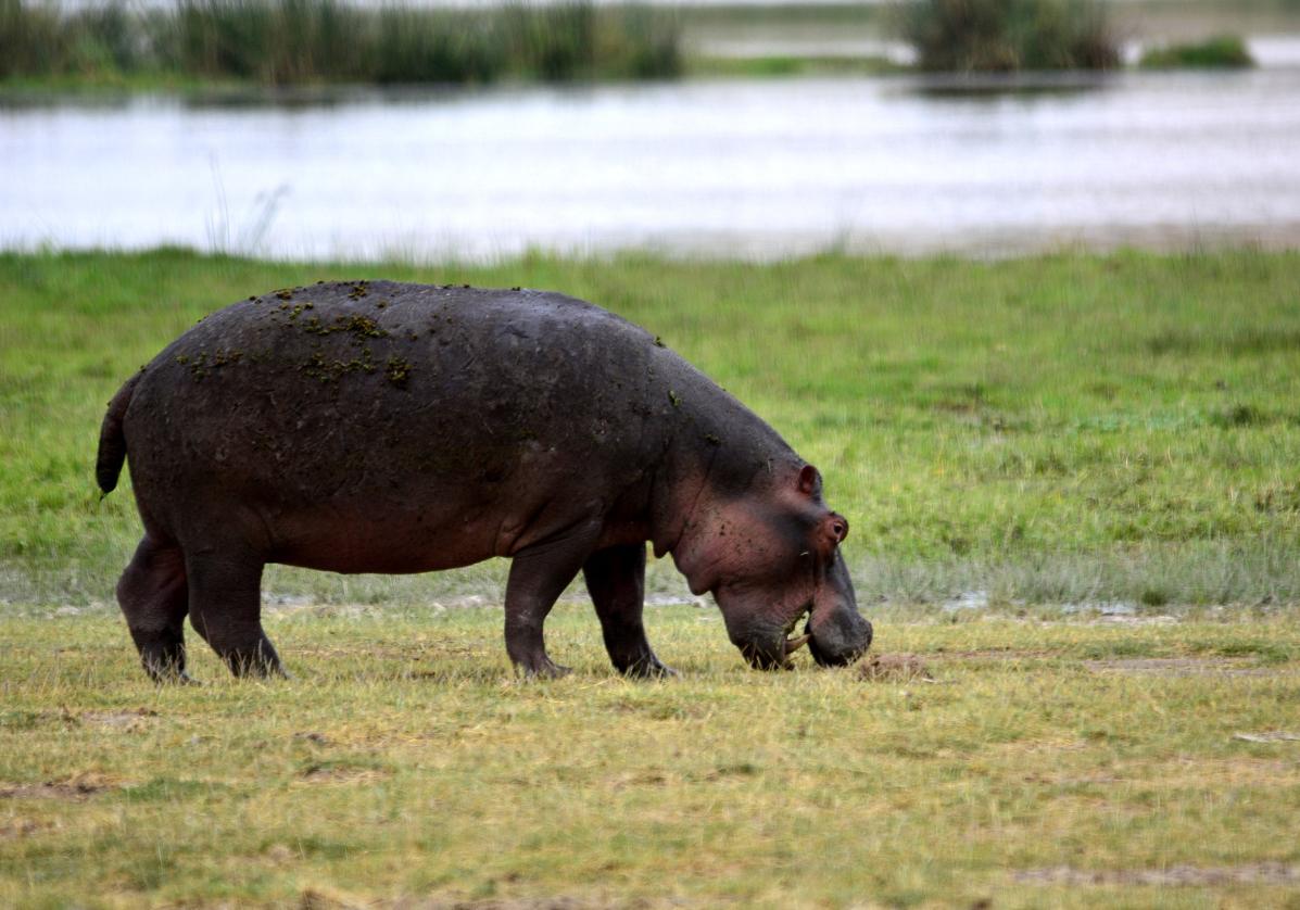 Les hippopotames de Tsavo Ouest