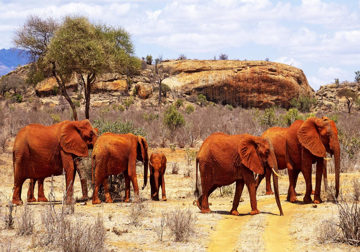 Les éléphants de Tsavo Ouest