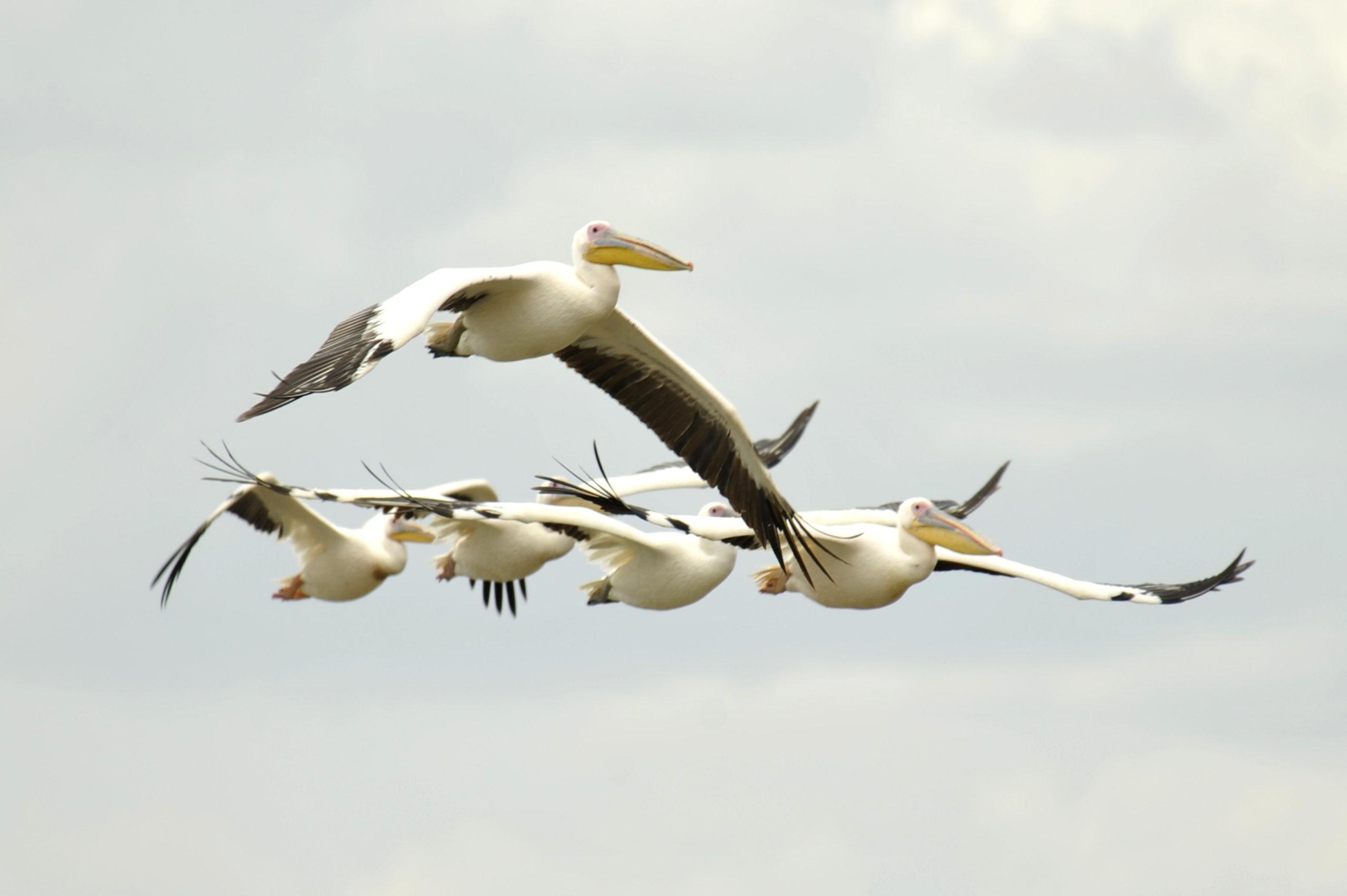 Les oiseaux du lac Ziway à Langano