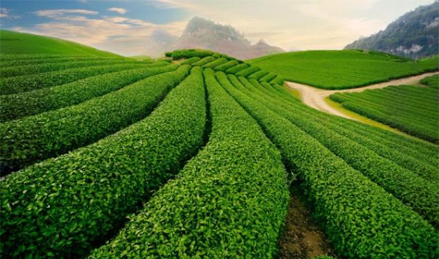 Les champs de théiers dans la région de Nghia Lo