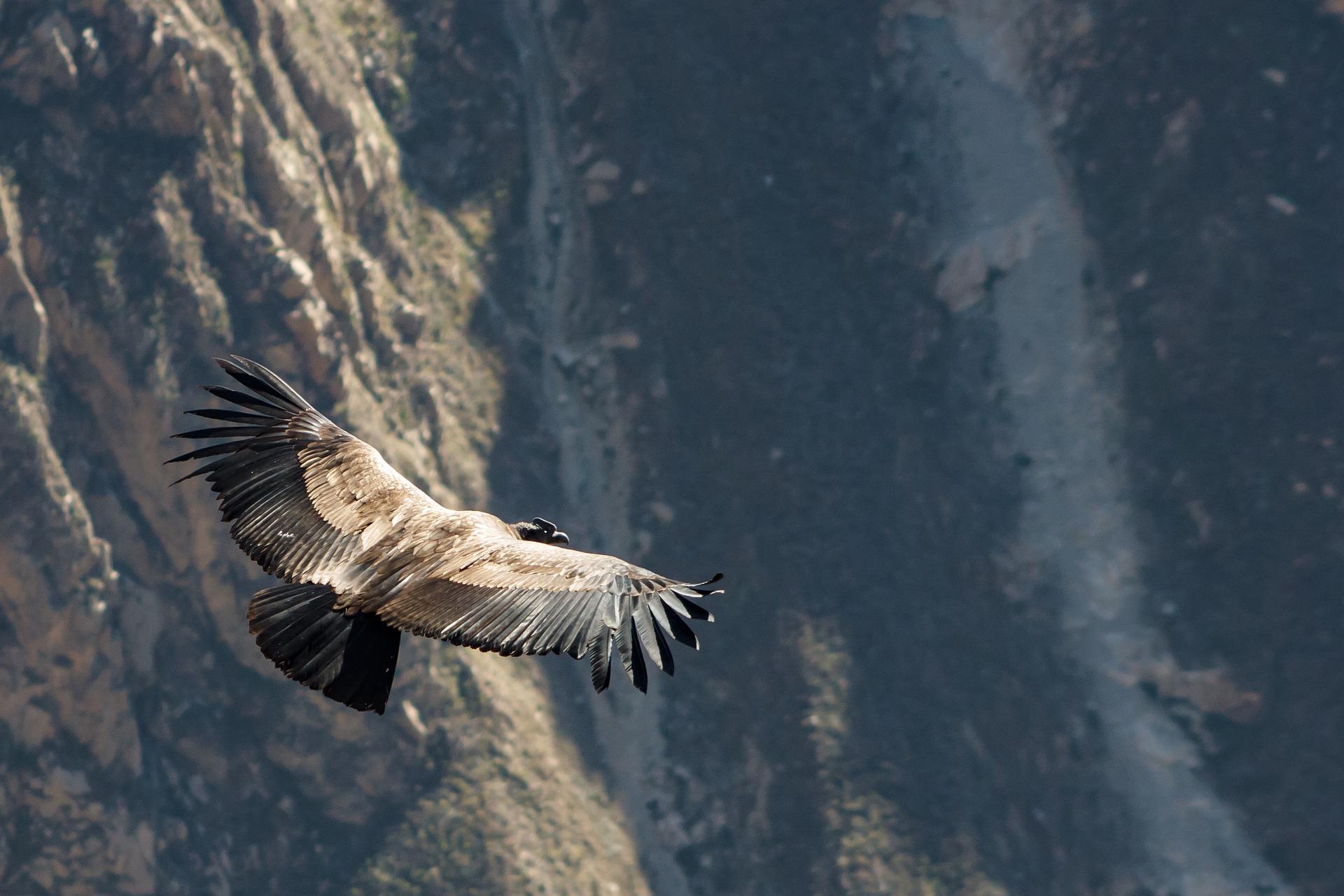 Vol des condors dans le Canyon du Colca