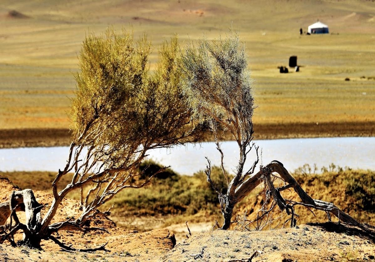 Les arbres du désert de Gobi