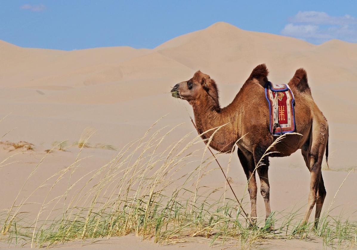Balade en chameau dans le désert de Gobi