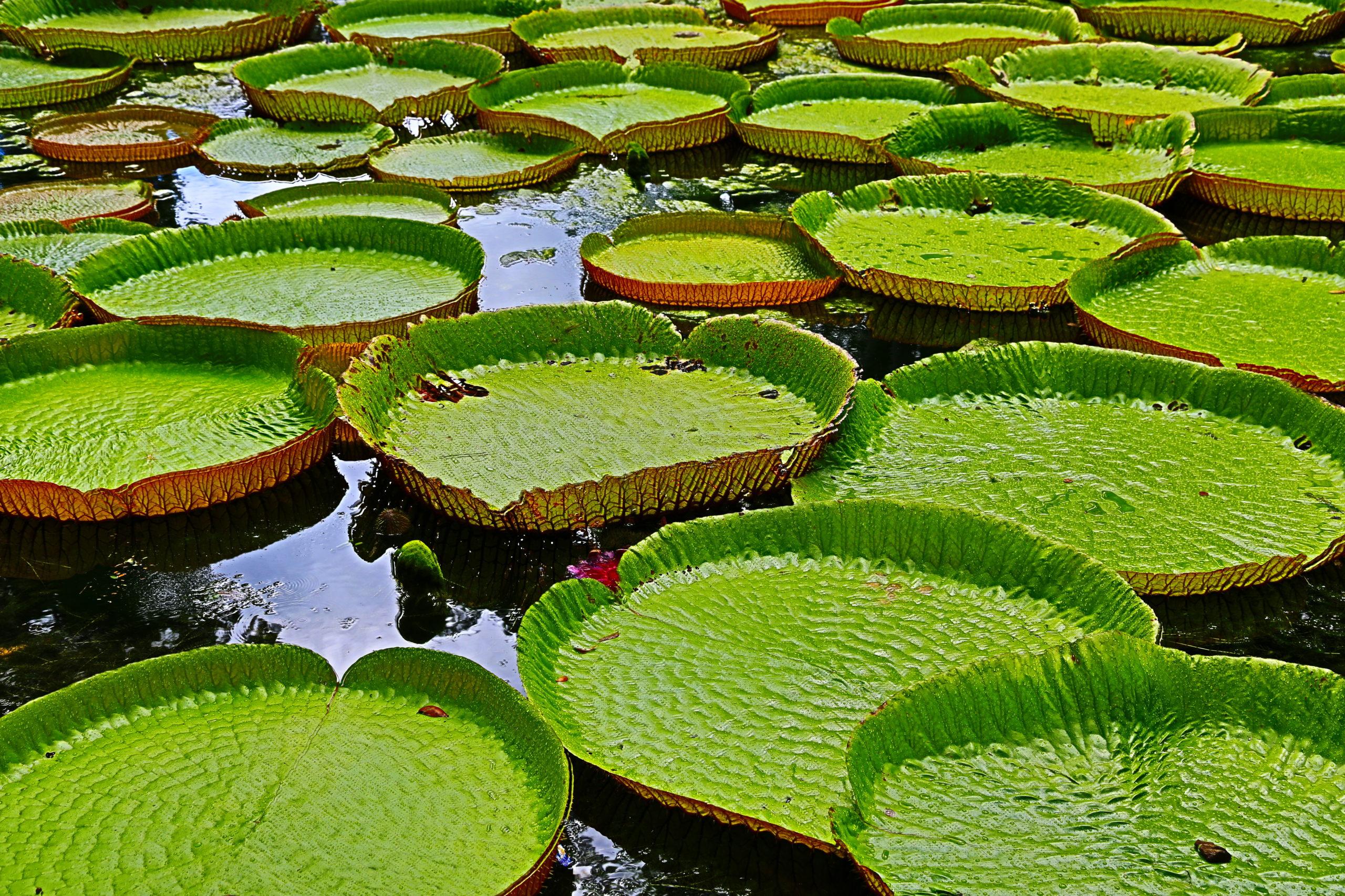 Visite du jardin Pamplemousse à Port Louis