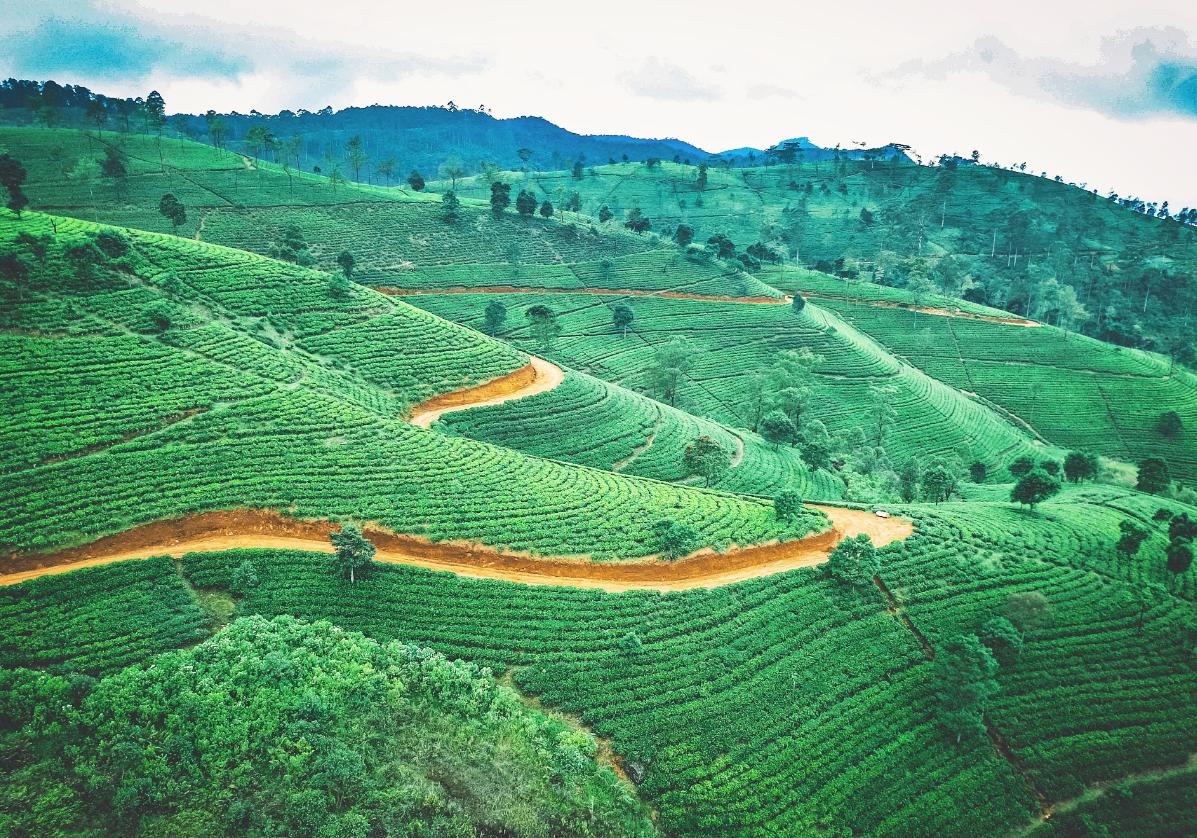 Paysages de plantations de thé à Nuwara Eliya