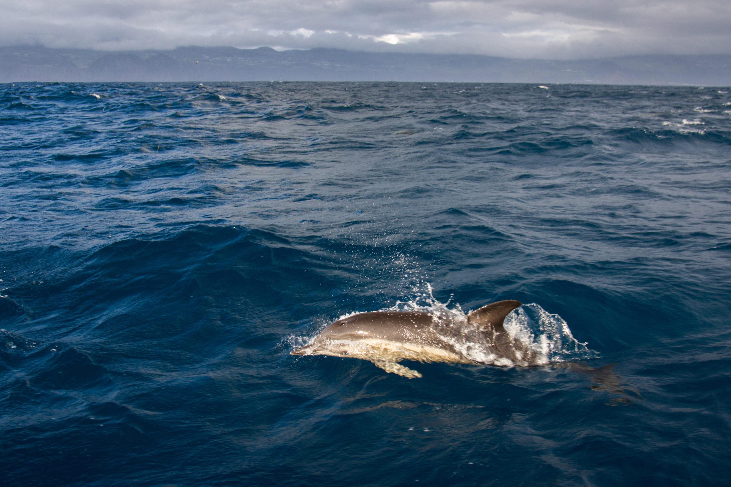 Sortie en mer au large de Lajes Do Pico pour observer les baleines