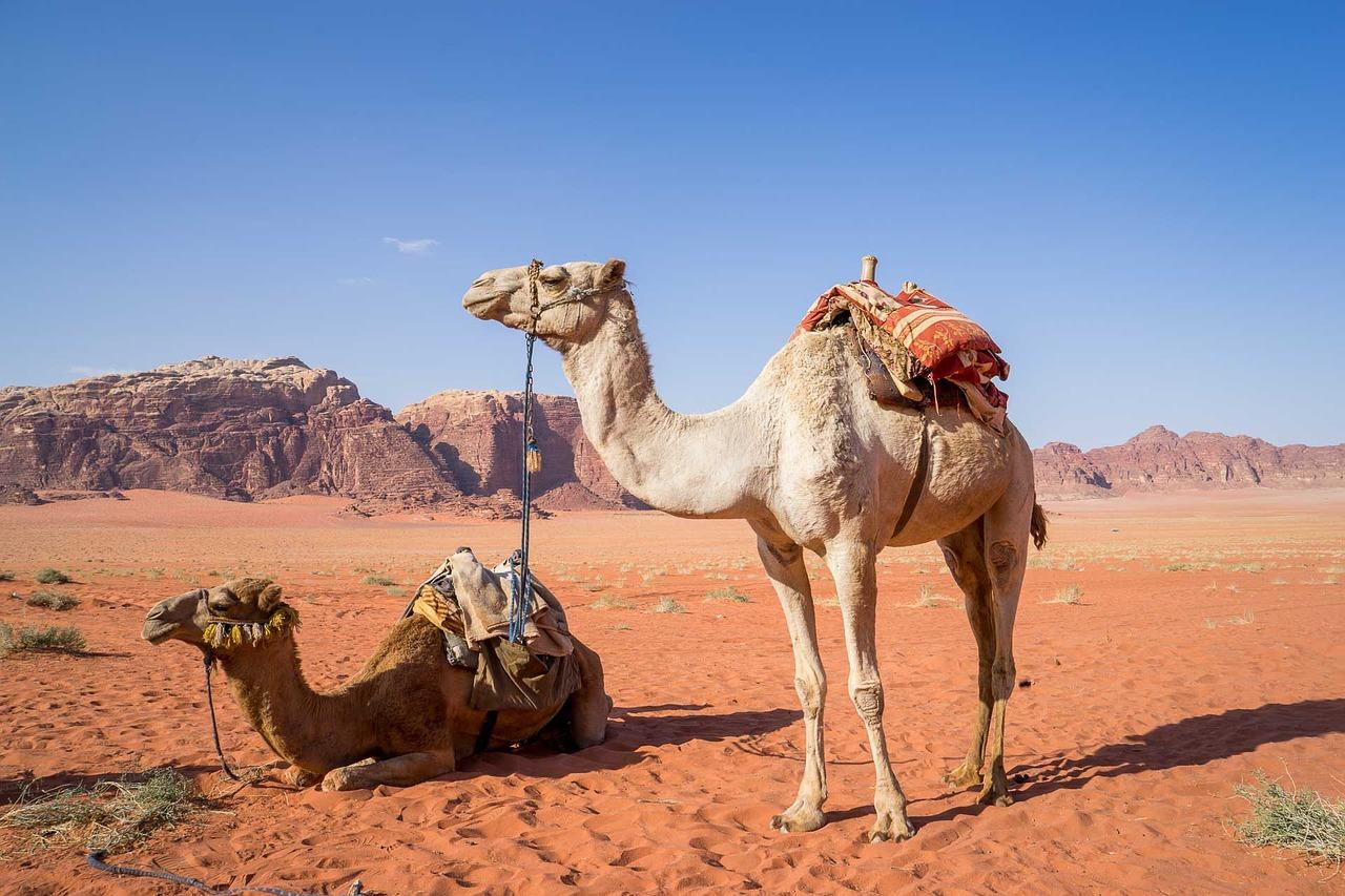 A dos de dromadaire dans le désert du Wadi Rum