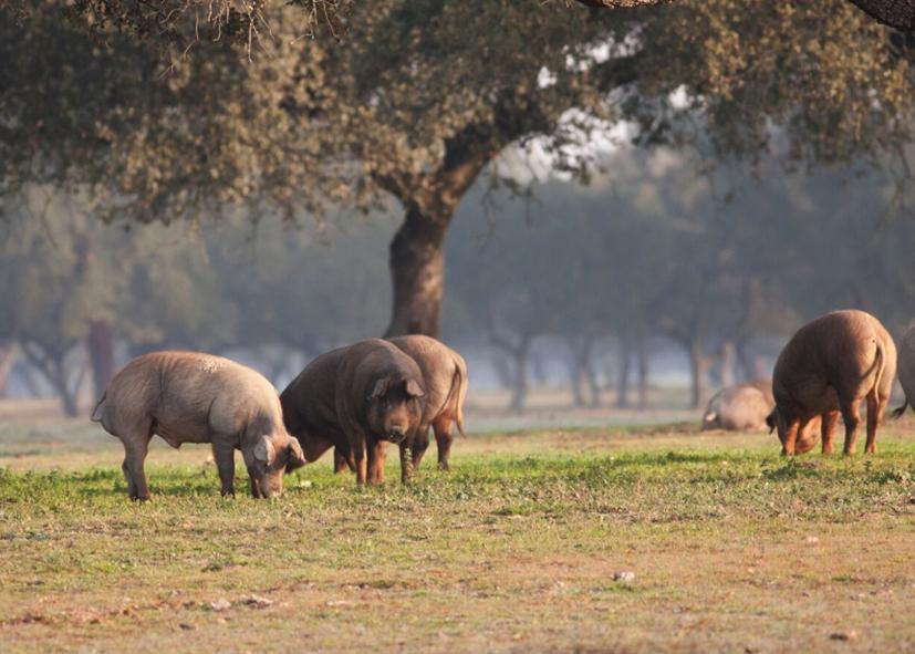 Elevage de porc Ibérique à Acarena