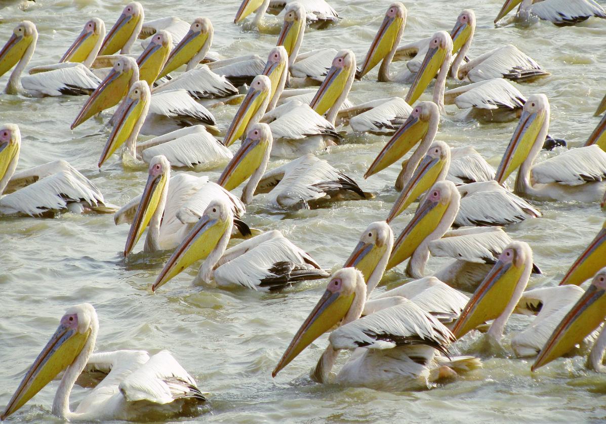 Observation des oiseaux du parc du Djoudj en pirogue
