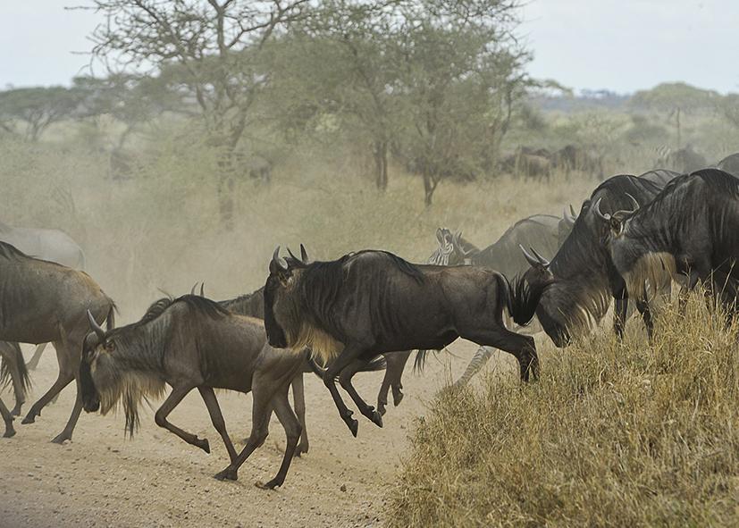 Migration des gnous dans le parc du Serengeti