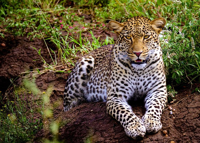 Leopard dans le parc national de Tarangire
