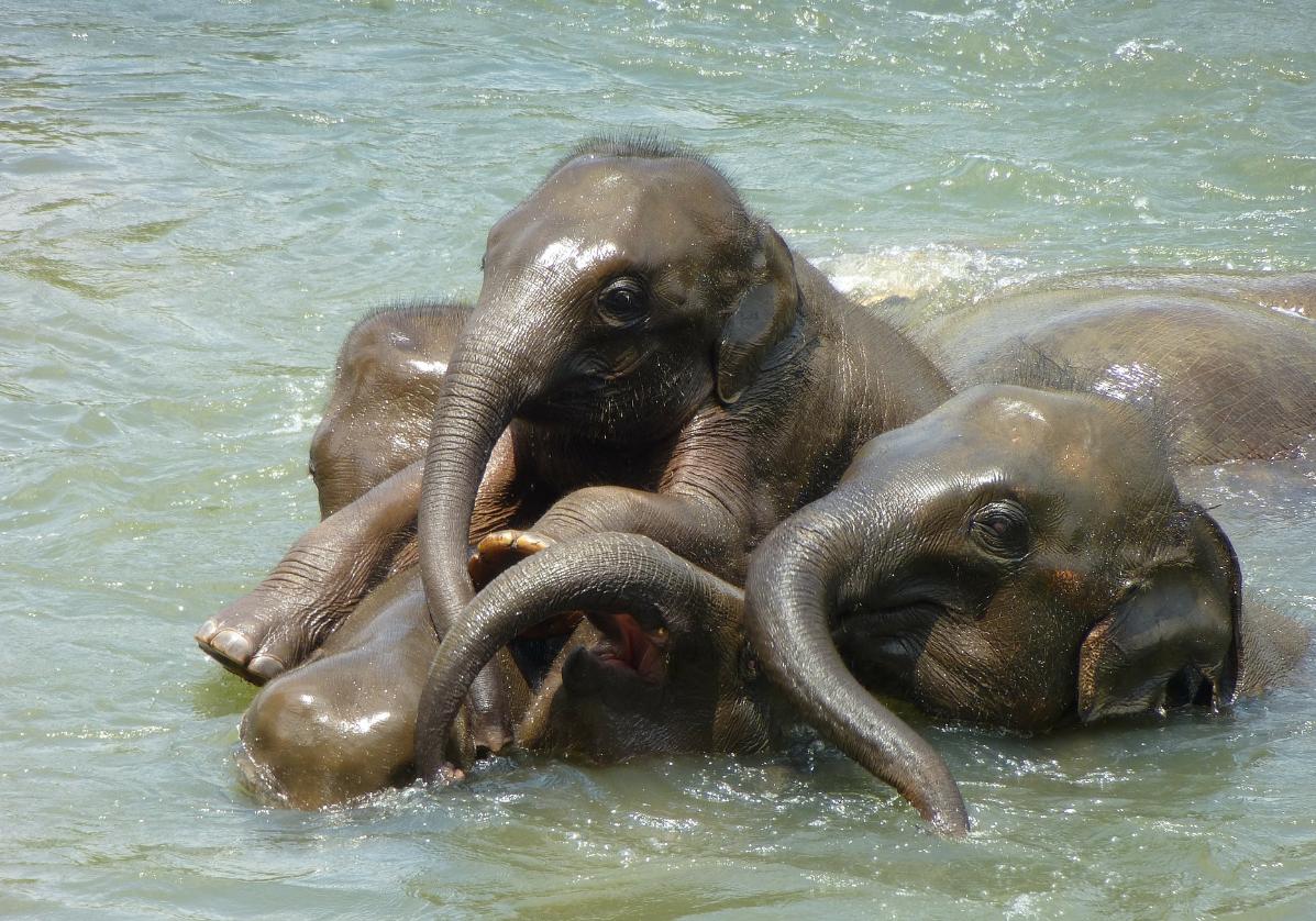 L'orphelinat des éléphants à Udawalawe