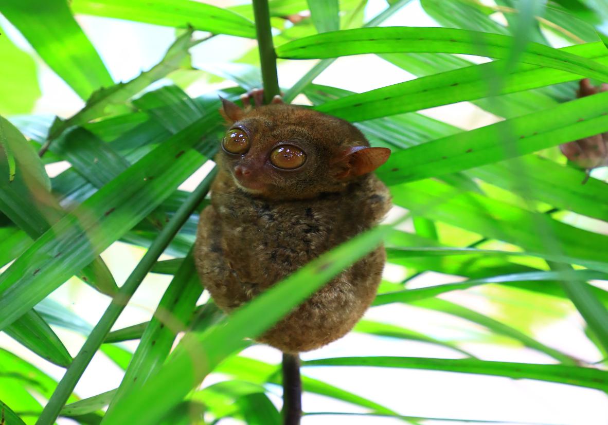 Rencontre acec les tarsiers de Bohol