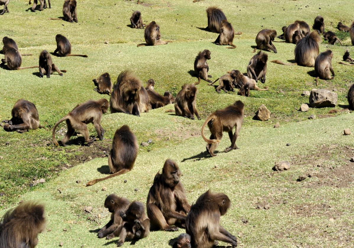 Babouins dans le Parc National du Simien