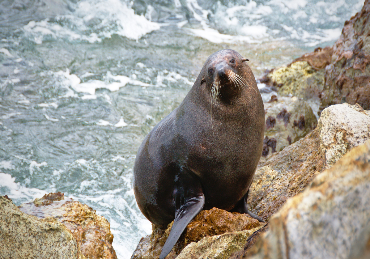 La faune de la péninsule d'Otago